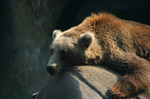 Tired bear